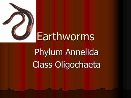 Earthworms Phylum Annelida Class Oligochaeta. Where do earthworms live? They live in burrows in the dirt They live in burrows in the dirt They tunnel.