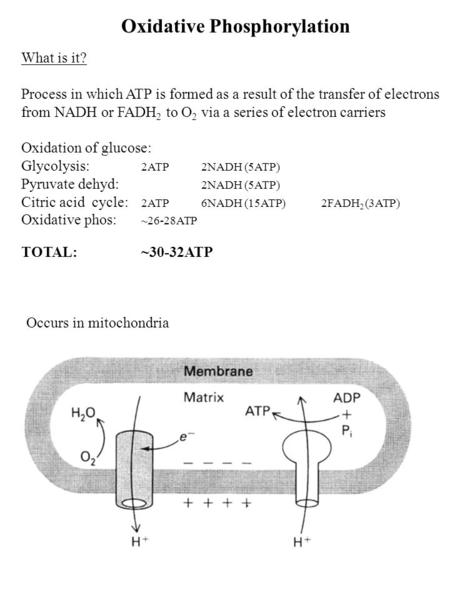 Oxidative Phosphorylation What is it? Process in which ATP is formed as a result of the transfer of electrons from NADH or FADH 2 to O 2 via a series of.