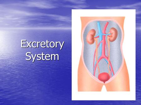 Excretory System. What does the blood carry away from body cells? 1. Oxygen & waste 2. Carbon dioxide & waste 3. Carbon dioxide & nutrients 4. Oxygen.