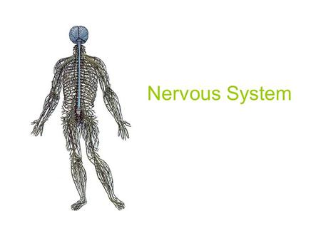 Nervous System. Central Nervous System The central nervous system is divided into two parts: the brain and the spinal cord. The average adult human.