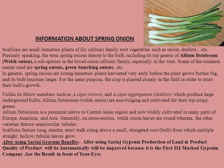 Scallions are small immature plants of lily (allium) family root vegetables such as onion, shallots…etc. Precisely speaking, the term spring onions denote.