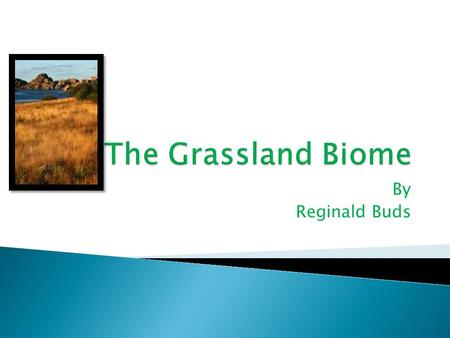 By Reginald Buds The Grasslands are found between the deserts and the forests. The Grasslands do not have very much trees or sand. So it isn't like the.