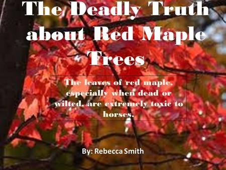 The Deadly Truth about Red Maple Trees By: Rebecca Smith The leaves of red maple, especially when dead or wilted, are extremely toxic to horses.