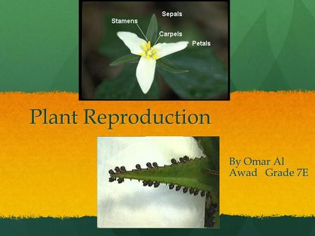Plant Reproduction By Omar Al Awad Grade 7E. Asexual Reproduction Asexual reproduction is the formation of new individuals from the cell of a single parent.