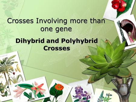 Crosses Involving more than one gene Dihybrid and Polyhybrid Crosses.