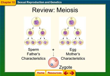 Review: Meiosis Sperm Father's Characteristics Egg Mother's Characteristics + Zygote Sexual Reproduction and Genetics Chapter 10.