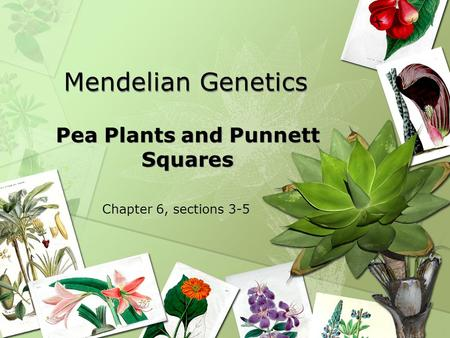 Mendelian Genetics Pea Plants and Punnett Squares Chapter 6, sections 3-5.