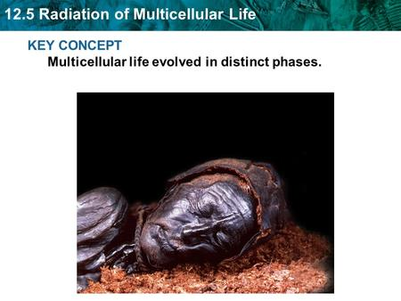 12.5 Radiation of Multicellular Life KEY CONCEPT Multicellular life evolved in distinct phases.