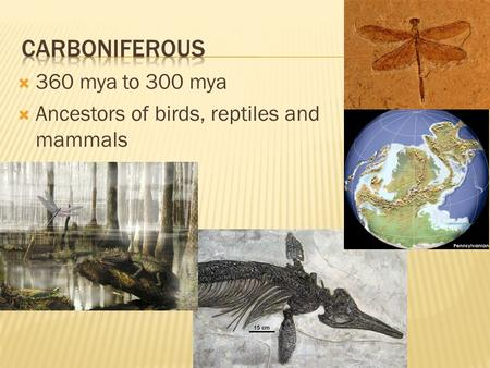  360 mya to 300 mya  Ancestors of birds, reptiles and mammals.