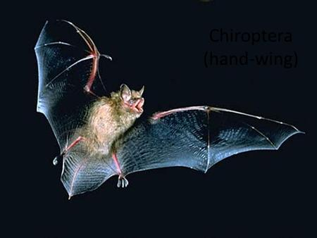 Chiroptera (hand-wing). Modes of Flight Bats – High speed w/ extreme maneuverability. – Can fly up to ________but average about ______ – Bats _________.