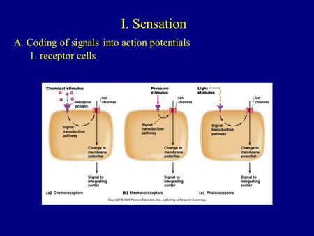 I. Sensation A. Coding of signals into action potentials 1. receptor cells.