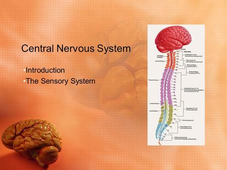 Central Nervous System Introduction The Sensory System.