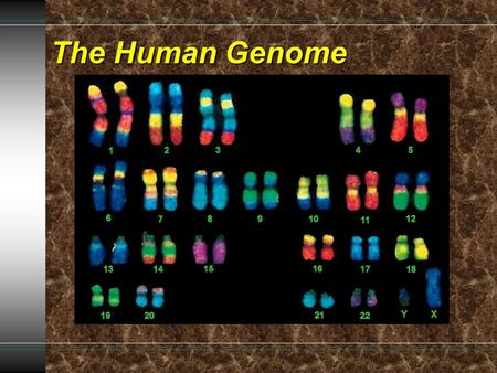 The Human Genome. Human Chromosomes Karyotype- diagram showing the complete set of chromosomes.Karyotype- diagram showing the complete set of chromosomes.