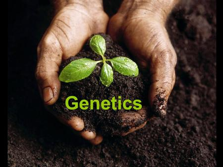 Genetics. Terminology Allele – contrasting form of a gene –Ex: T = tall; t = short –Ex: G = green; g = yellow –CAPITAL LETTERS – DOMINANT TRAIT –lowercase.