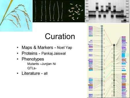 Maps & Markers - Noel Yap Proteins - Pankaj Jaiswal Phenotypes Mutants –Junjian Ni QTLs- Literature - all Curation.