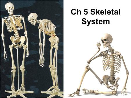 Ch 5 Skeletal System. 7-2 Bone Tissue Connective tissue with a matrix hardened by minerals (calcium phosphate) Continually remodels itself Functions of.