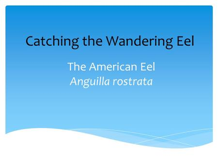 The American Eel Anguilla rostrata Catching the Wandering Eel.