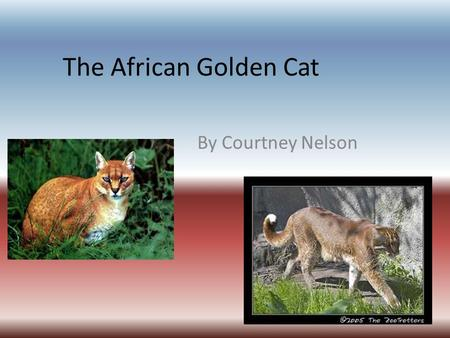 The African Golden Cat By Courtney Nelson. About Profelis aurata Medium in size, 31 in with a 12 in tail Coat color depends on location- goldish/reddish.