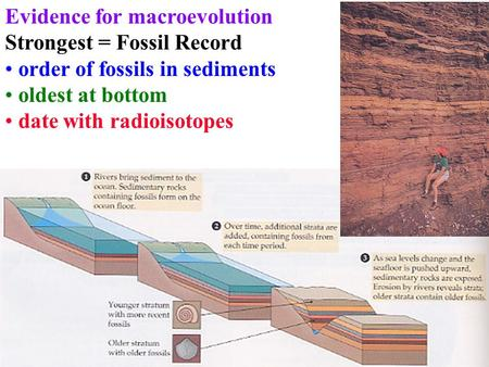 Evidence for macroevolution Strongest = Fossil Record order of fossils in sediments oldest at bottom date with radioisotopes.