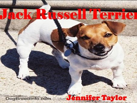 Jack Russell Terriers Jennifer Taylor. Origin of the Breed Originally bred in England Bred by Reverend John Russell Origins dating back to the 19 th Century.