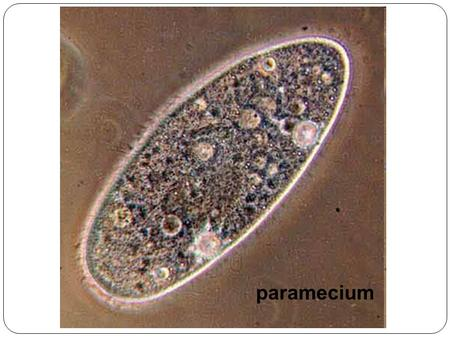 Paramecium. Chapter 15 p.325-329 6 <strong>Kingdoms</strong> of Life.