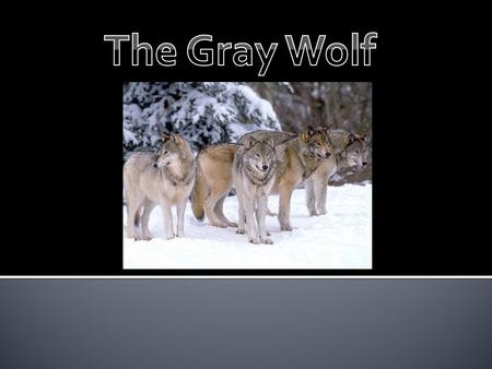 The problem we are having in the upper Midwest is that the wolf population is starting to rise rapidly and overpopulate. They reason why this is a problem.