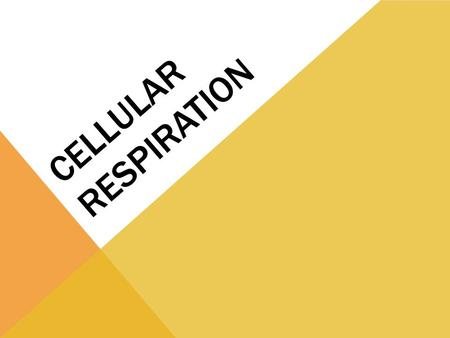 CELLULAR RESPIRATION. Process used by ALL organisms perform to make energy for the cell MITOCHONDRIA perform cellular respiration Energy that the cells.