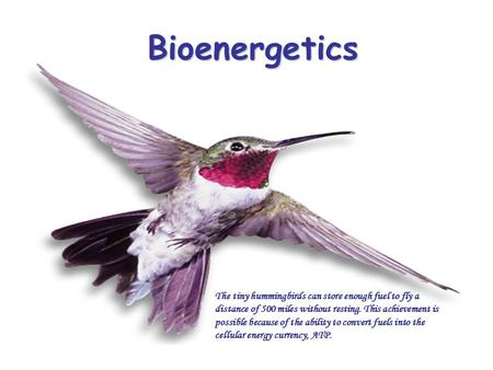 Bioenergetics The tiny hummingbirds can store enough fuel to fly a distance of 500 miles without resting. This achievement is possible because of the ability.