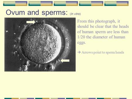 Ovum and sperms: (In vitro) From this photograph, it should be clear that the heads of human sperm are less than 1/20 the diameter of human eggs.  Arrows.