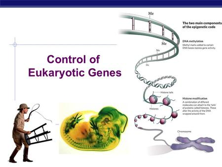 AP Biology Control of Eukaryotic Genes. AP Biology The BIG Questions… How are genes turned on & off in eukaryotes? How do cells with the same genes differentiate.