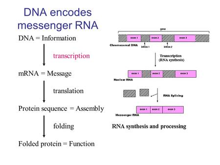 DNA encodes messenger RNA DNA = Information transcription mRNA = Message translation Protein sequence = Assembly folding Folded protein = Function.