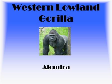 Western Lowland Gorilla Alondra. Habitat Central Africa Tropical Rain Forest.