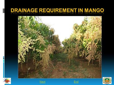 NextEnd. INTRODUCTION  Mango trees grow best on a slight slope which enables runoff of excess water and prevents water logging.  Depressions or basins.