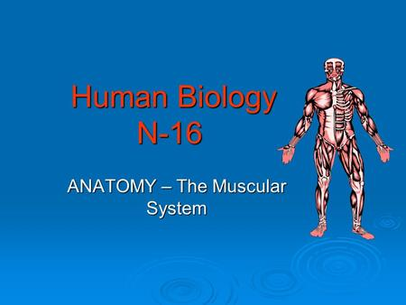 Human Biology N-16 Human Biology N-16 ANATOMY – The Muscular System.