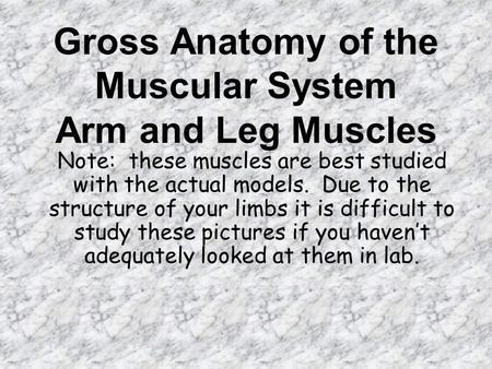 Gross Anatomy of the Muscular System Arm and Leg Muscles Note: these muscles are best studied with the actual models. Due to the structure of your limbs.