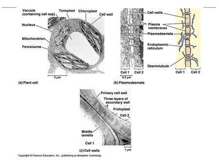 Figure Review of General Plant Cell Structure