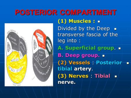 POSTERIOR COMPARTMENT (1) Muscles : (1) Muscles : Divided by the Deep transverse fascia of the leg into : Divided by the Deep transverse fascia of the.