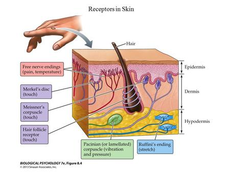 Receptors in Skin. The Structure and Function of the Pacinian Corpuscle as an example of transduction of mechanical to action potentials.
