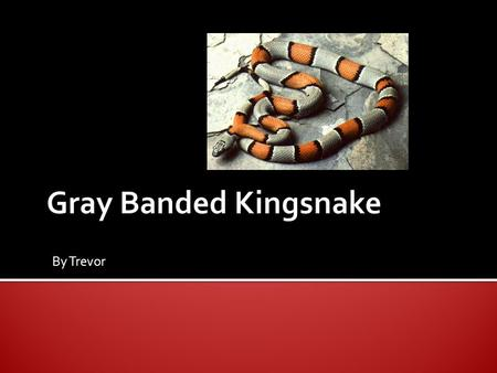 By Trevor.  There are 23-25 rows of scales on the gray banded snake. The grey banded snake can be all black but very uncommon to see one black.  It.