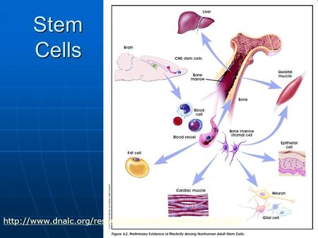 Stem Cells http://www.dnalc.org/resources/animations/stemcells.html.