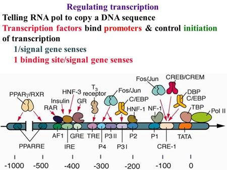 Regulating transcription Telling RNA pol to copy a DNA sequence Transcription factors bind promoters & control initiation of transcription 1/signal gene.
