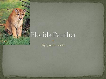 By: Jacob Locke. Scientific Name: Puma Concolor coryi Natural Habitat: mainly found in southern tip of Florida can be found all across southeastern United.
