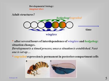 February 06 Developmental biology: imaginal discs 5 wingless hedgehog/engrailed * after several hours of interdependence of wingless and hedgehog: situation.