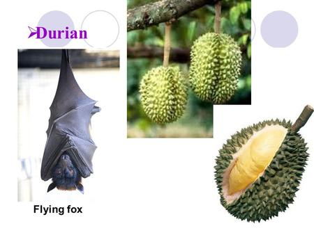Durian Durian – prized fruit grown in SE Asian tropical forests. Football sized fruit Tree life cycle depends on nectar- and pollen-feeding flying foxes.