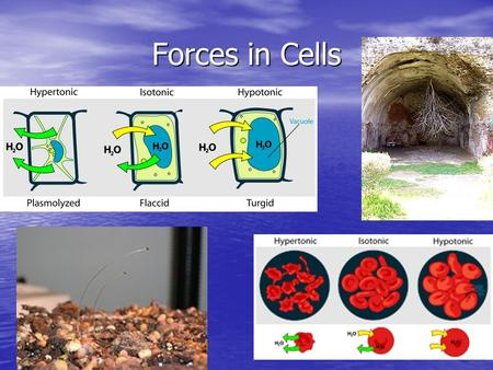 Forces in Cells. Stimulus and Response Why animals and plants do what they do OR A fancy way of saying cause and effect in the animal world.