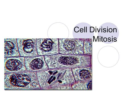 Cell Division Mitosis.