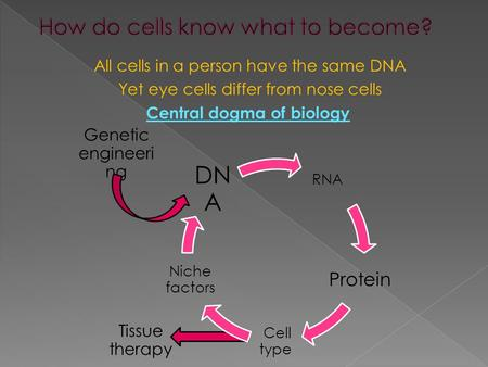 All cells in a person have the same DNA Yet eye cells differ from nose cells Central dogma of biology Genetic engineeri ng Tissue therapy.