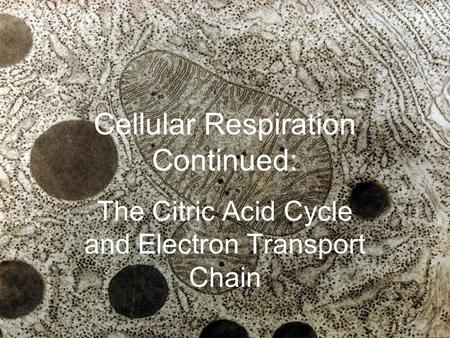 Cellular Respiration Continued: The Citric Acid Cycle and Electron Transport Chain.