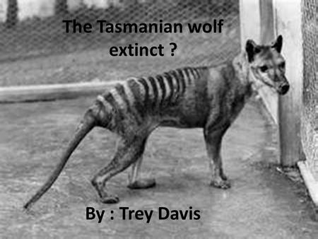 The Tasmanian wolf extinct ? By : Trey Davis. Life for the wolf The Tasmanian wolf lived in Australia, Tasmania and New Guinea It is one of the few marsupial.