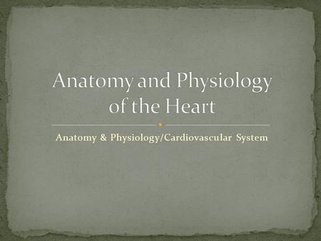 Anatomy & Physiology/Cardiovascular System. About the size of a an adult fist Hollow and cone shaped Weighs less than a pound Sits atop the diaphragm.